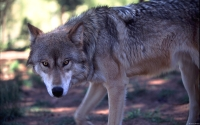 Collection\Msft\Mammals\Wolf: Wolf-Prowling-(Canis-lupus)