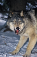 Collection\Msft\Mammals\Wolf: Wolf-growling-(Canis-lupus)