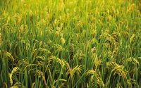 Collection\Msft\Plants\Agriculture: Rice-Plants