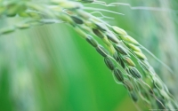 Collection\Msft\Plants\Agriculture: Rice-Seeds