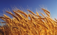 Collection\Msft\Plants\Agriculture: Wheat