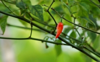 Collection\Msft\Plants: Chili-Pepper