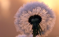 Collection\Msft\Plants: Dandelion-in-Seed