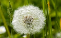 Collection\Msft\Plants: Dandelion