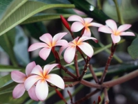 Collection\Msft\Plants\Flowers: Frangipani-Flowers