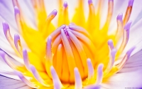 Collection\Msft\Plants\Flowers: Waterlily