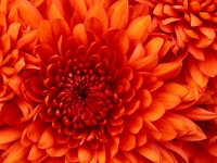 Collection\Msft\Plants\Garden: Chrysanthemum