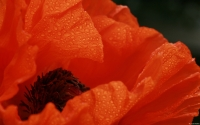 Collection\Msft\Plants\Garden: Orange-Poppy