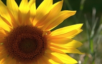 Collection\Msft\Plants\Garden: Sunflower