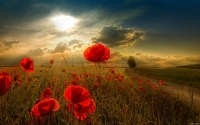 Collection\Msft\Plants: Sunlight-in-Poppy-Field