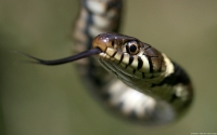 Collection\Msft\Reptiles: Grass-Snake