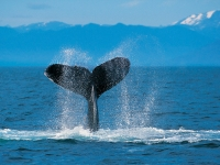 Collection\Msft\Sea: Humpback-Whale