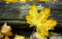 Collection\Msft\Seasons: Autumn-Leaf-on-wood