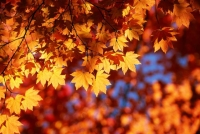 Collection\Nature Portraits: Autumn-leaves