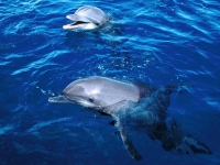 Collection\Nature Portraits: Dophins-in-blue-water-2