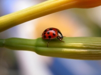 Collection\Nature Portraits: Ladybug