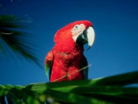 Collection\Nature Portraits: Red-parrot-2