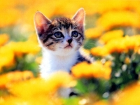 Collection\Nature Portraits: Tiny-cat-between-yellow-flowers