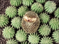 Funny: Hedgehog-rolled-up-amidst-cactus-plants