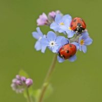 Insect: Ladybirds-on-blue-flowers