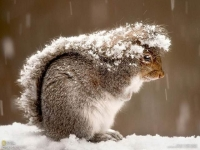 Mammal: Grey-squirrel-uses-its-tail-against-snow