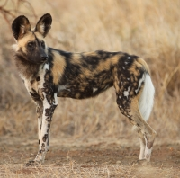 Mammal\Painted Dog: African-wild-dog-christian-sperka-(Lycaon-pictus)