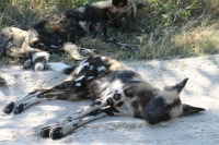 Mammal\Painted Dog: Lazy-african-painted-dog-(Lycaon-pictus)