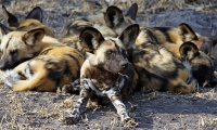 Mammal\Painted Dog: Lazy-painted-dogs-(Lycaon-pictus)