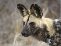 Mammal\Painted Dog: Serengeti-wild-dog-(Lycaon-pictus)