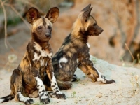 Mammal\Painted Dog: Two-african-wild-dogs-youngsters-(Lycaon-pictus)