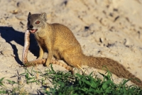 Mammal: Yellow-Mongoose-(Cynictis-penicillata)-eating-a-snake