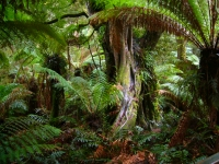Rainforest: Southern-Tropical-Rainforest-Maits-Rest-Jungle-Australia