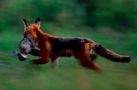 WildLife: Fox-(Vulpes-vulpes)-with-prey