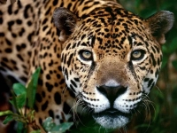 WildLife: Jaguar-looks-you-straight-in-the-eye-(Panthera-onca)