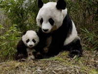 WildLife: Mother-Panda-with-young-(Ailuropoda-melanoleuca)