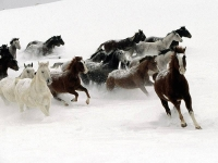 WildLife: Wild-Horses-in-snow