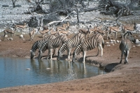 WildLife: Zebras-At-Waterhole